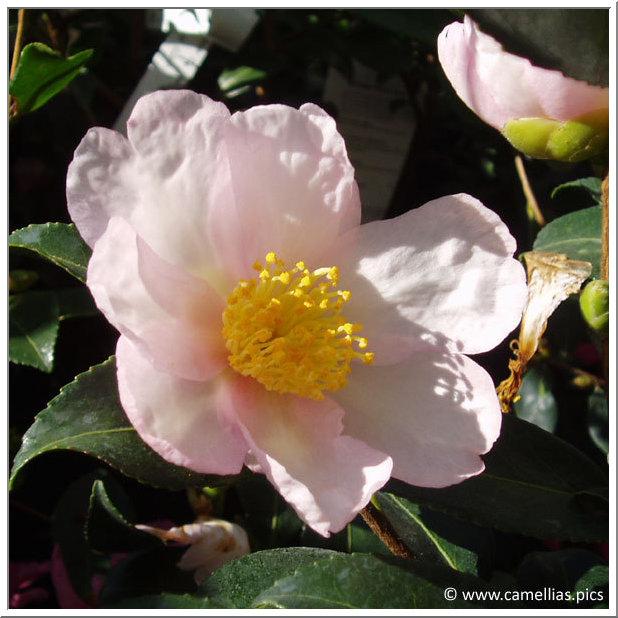 soins aux camellias