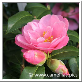 Camellia Daintiness